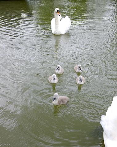 swans-zi